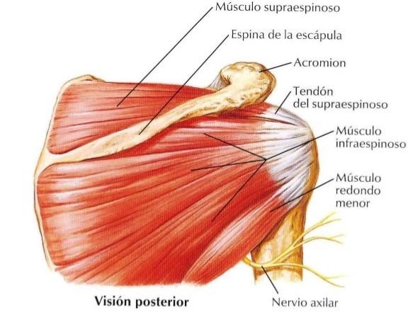Tendinitis del supraespinoso – Physed